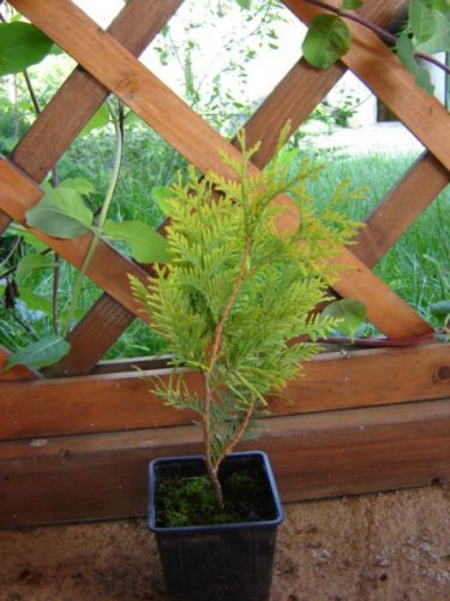 "Thuja Occidentalis ""Semperaurea"""