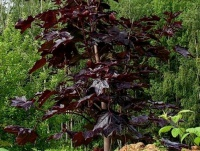 "Acer platanoides ""Royal Red"""
