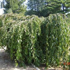 """Prunus Avium """"Pendula"""" - Cires Pendul"""