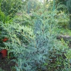 """Juniperus Squamata """"Blue Alps"""" - Ienupar"""