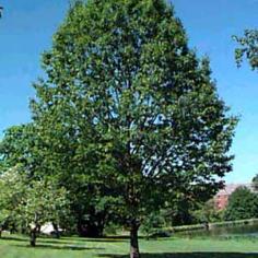 Quercus Rubra - Stejar Rosu