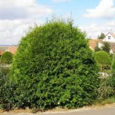 "Thuja occidentalis ""Globosa"""