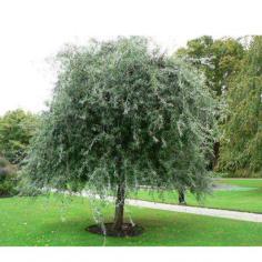 "Pyrus salicifolia ""Pendula"""