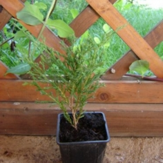 "Juniperus Virginiana ""Andora Compact"""