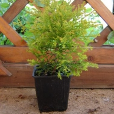 "Thuja Occidentalis ""Rehngold"""