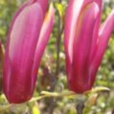 "Magnolia Iiliflora ""Nigra"""