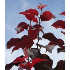 "Prunus Cerasfera ""Nigra"" - Corcodus rosu"
