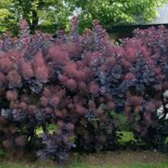 Cotinus Coggigria Royal Purple
