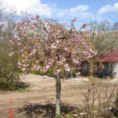 "Prunus Surrulata ""Kiku-shidare-sacura"" - Cires japonez"