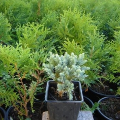 "Juniperus Squamata ""Blue Star"""