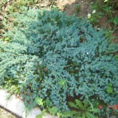 """Juniperus Squamata""""Blue Carpet"""" - Ienupar"""