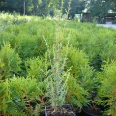 """Juniperus Virginiana """"Sentinel"""""""