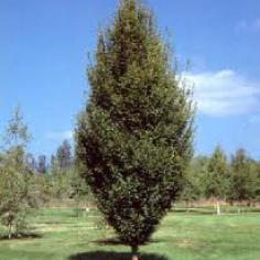 """Carpinus Betulus """"Fastigiata"""""""
