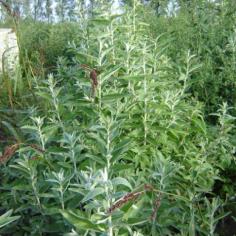 Eleagnus Angustifolia - Salcioara