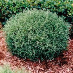 "Thuja occidentalis ""Mr. Bowling Ball"""