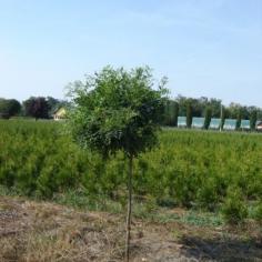 """Robinia Pseudoacacia """"Umbraculifera"""""""